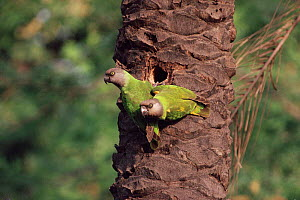 Senegal parrots pair at nest hole {Poicephalus senegalus} Gambia  -  Mike Wilkes