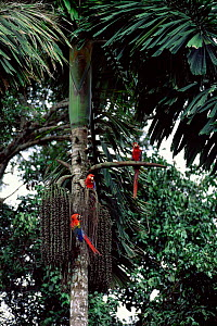 Scarlet macaws {Ara macao} feed on palm nuts, Madre de Dios - Pete Oxford