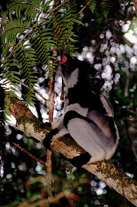 Indri calling with young on back, Perinet Reserve, Madagascar - Pete Oxford