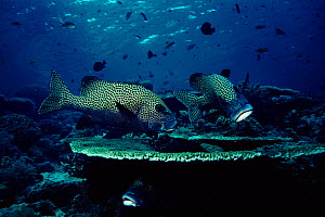 Many spotted sweetlips (Plectorhinchus chaetodonoides). Celebes Sea, Indo Pacific  -  Georgette Douwma
