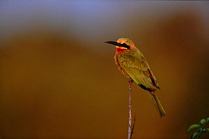 White fronted bee eater (Merops bullocloides). Kruger NP, South Africa - Richard Du Toit