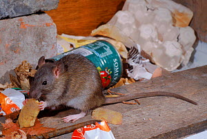 Brown rat (Rattus norvegicus) among rubbish. Yorkshire, England, UK, Europe - Paul Hobson