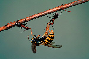 Wood ants (Formica rufa) attacking Wasp (Polistes gallicus). Germany, Europe - Dietmar Nill