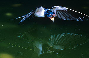 Barn swallow {Hirundo rustica} flying over water with mouth open, hunting for insects, Germany - Dietmar Nill