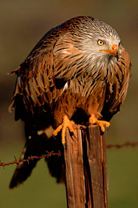 Red kite perched on post. Germany, Europe - Dietmar Nill