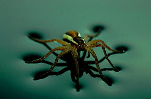 Raft spider (Dolmedes fimbriatus) on water. Germany, Europe - Dietmar Nill