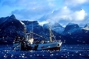 Norwegian fishing boat hauling herring net, surrounded by gulls Tysfjord, Norway  -  Martha Holmes
