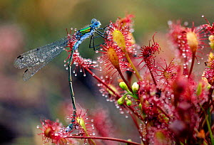 Emerald damselfly (Lestes sponsa) caught on Common sundew (Drosera rotundifolia). Belgium, Europe  -  Bernard Castelein