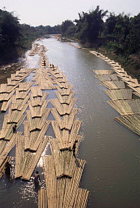 Freshly cut Bamboo rafts being collected on river, free and easy way to transport it downstream, Assam, North East India  -  Vivek Menon