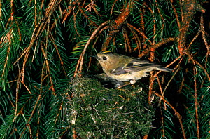 Goldcrest at nest {Regulus regulus} UK.  -  Colin Preston