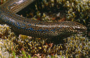 Male Slow worm with blue markings {Anguis fragilis} Purbeck, Dorset, UK - Tony Phelps