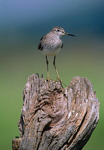 Wood sandpiper {Tringa glareola} perched, summer plumage, Greece  -  David Tipling