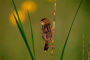 Fan-tailed warbler (Cisticolia juncidis) on reed. Greece, Europe  -  DAVID TIPLING