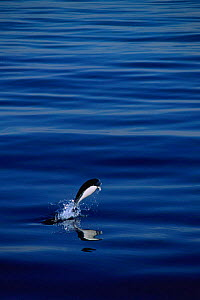 Southern right whale dolphin porpoising {Lissodelphis peronii} Pacific coast off Peru, South America  -  Pete Oxford