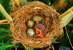 Reed warbler's nest with eggs and European cuckoo chick just hatched, UK  -  John Cancalosi
