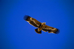 Steppe eagle in flight, Oman, {Aquila rapax nipalensis} 2nd winter bird  -  Hanne & Jens Eriksen