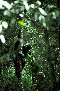 Eastern lowland gorilla feeding in tree {Gorilla beringei graueri} Lake Kivu, Democratic Republic of the Congo  -  Jabruson