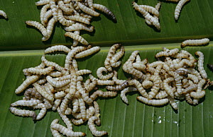 Edible bamboo worms collected for restaurant Chiang Mai, Thailand  -  Rupert Barrington