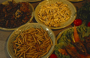 Edible bamboo worms, crickets, hornet grubs and giant water bugs. Chiang Mai, Thailand  -  Rupert Barrington