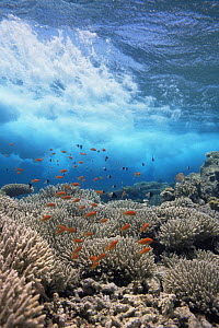 Coral reef scenic with waves and Anthias fish, Eygpt, Red Sea  -  Georgette Douwma