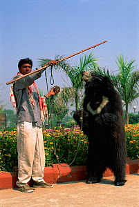 Dancing Sloth bear with keeper {Melursus ursinus} Agra, India  -  Pete Oxford