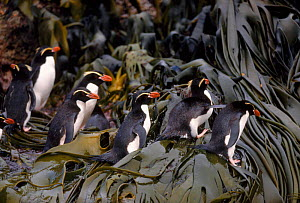 Snares island penguins (Eudyptes robustus) on seaweed. Snares Island, New Zealand - Pete Oxford