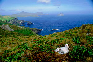 Southern royal albatross (Diomedea epomophora). Campbell Island, New Zealand - Pete Oxford