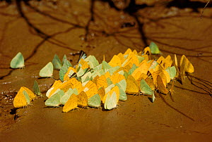Giant sulphur butterflies (Phoebis sp.) at salt lick. Madre de Dios river, Amazonia, Peru, Southern Africa - Pete Oxford