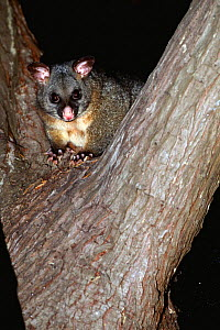 Common brushtail possum {Trichosurus vulpecula} up in tree at night, Maria Island, Tasmania - Pete Oxford