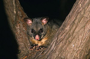 Common brushtail possum {Trichosurus vulpecula} portrait in tree, Maria island, Tasmania. - Pete Oxford
