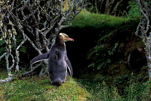 Yellow-eyed penguin {Megadyptes antipodes} Aukland Is, New Zealand - Pete Oxford