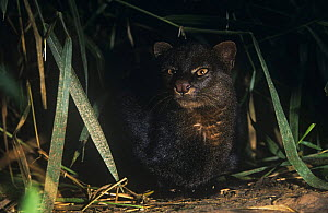 Jaguarundi {Felis yagouaroundi} in rainforest, Amazonia, Ecuador  -  Pete Oxford