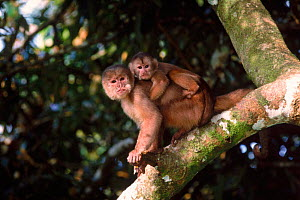 White fronted capuchin monkey with baby, Amazon, Ecuador - Pete Oxford