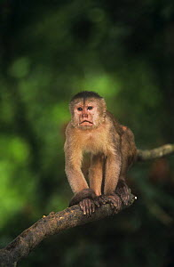 White fronted capuchin monkey {Cebus albifrons} in rainforest, Amazonia, Ecuador - Pete Oxford