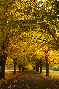 Avenue of Sugar maple trees in autumn {Acer saccharum} Wisconsin, USA  -  Larry Michael