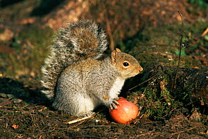 Grey squirrel feeding on apple {Sciurus carolinensis} Sussex, UK.  -  George McCarthy