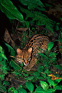 Ocelot in rainforest {Felis pardalis} Amazonia, Ecuador  -  Pete Oxford
