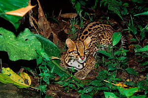 Ocelot (Felis pardalis) in rainforest. Amazonia, Ecuador, South America  -  Pete Oxford