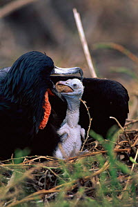 Great frigate bird feeding chick {Fregata minor} Genovesa, Galapagos.  -  Pete Oxford
