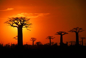Boabab trees (Adansonia grandidieri) silhouetted at sunset. Madagascar  -  Pete Oxford