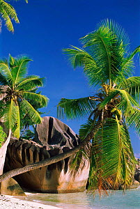 Coconut palm trees and granite outcrop. Sourse d'Argent beach, Las Digue, Seychelles.  -  Pete Oxford