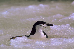Chinstrap penguin (Pygoscelis antarctica) in ice. South Sandwich Islands, Antarctica  -  Pete Oxford