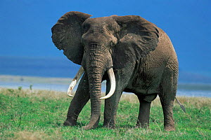 Male tusker African elephant {Loxodonta africana} Ngorongoro Crater NP, Tanzania, East Africa - Mike Wilkes