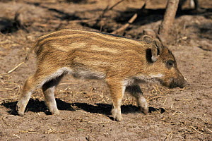 Wild boar piglet {Sus scrofa} Germany - captive  -  Christoph Becker