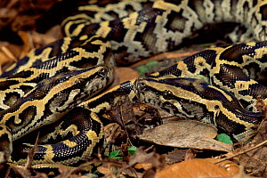Indian python hatchlings {Python molurus} captive - Mary McDonald