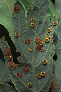 Silk button and Common spangle galls of Gall wasps {Neuroterus spp} on oak leaf. UK - Chris O'Reilly