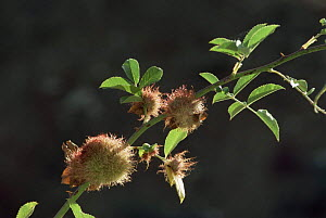 Bedeguar gall / Robin's pincushion {Diplolepis rosae} on Wild rose, made by parasitic Gall wasp  UK - Jose Luis GOMEZ de FRANCISCO