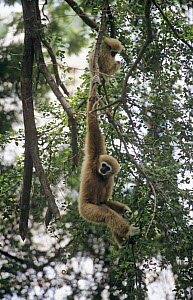 Two White-handed gibbons (Hylobates lar) in tree, one hanging from branch, captive, Thailand  -  Bernard Walton
