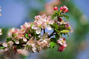 Apple blossom {Malus sylvestris} Germany  -  Christoph Becker