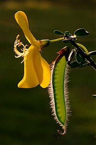 Broom flower with seed pod (Cytisus scoparius). Scotland, UK, Europe - Duncan Mcewan